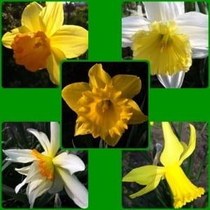 """daffodils"""