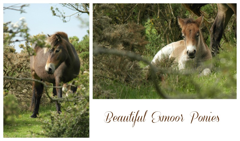 5 Reasons to visit Lynton and Lynmouth - beautiful Exmoor ponies