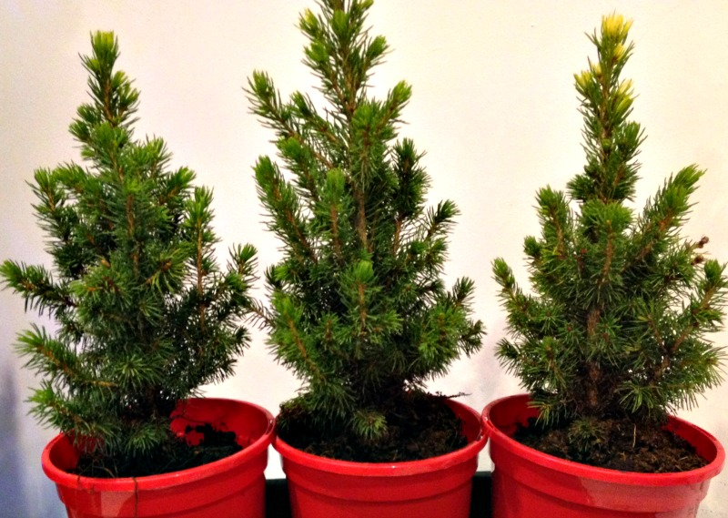 Mini Christmas trees from Pines and Needles