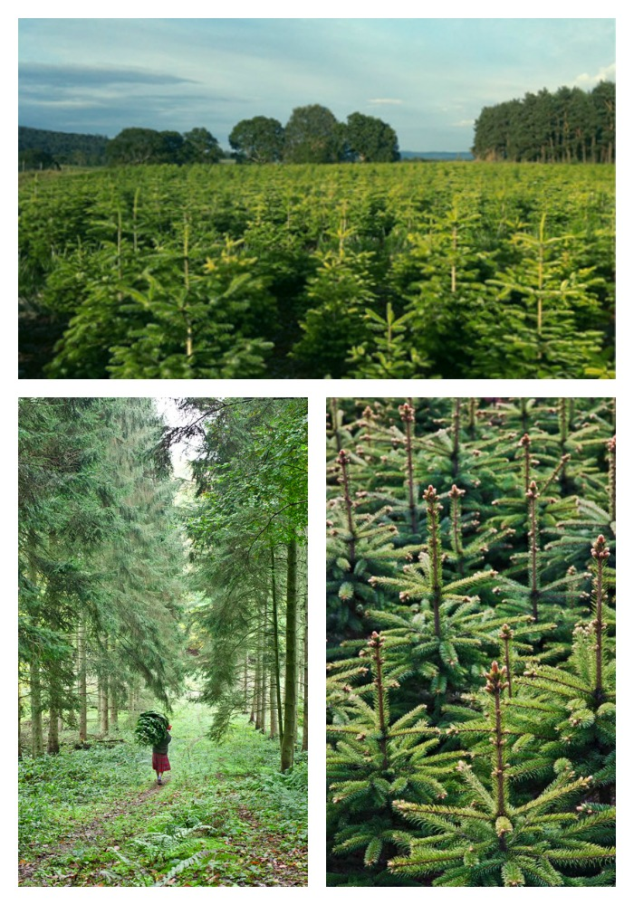 The Christmas trees at Pines and Needles are all grown from saplings in this family-run business.