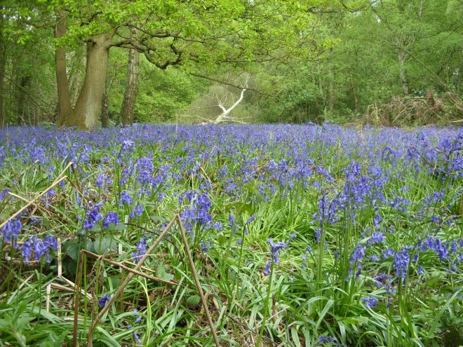 Where to see bluebells in Hertfordshire - Whippendell Woods