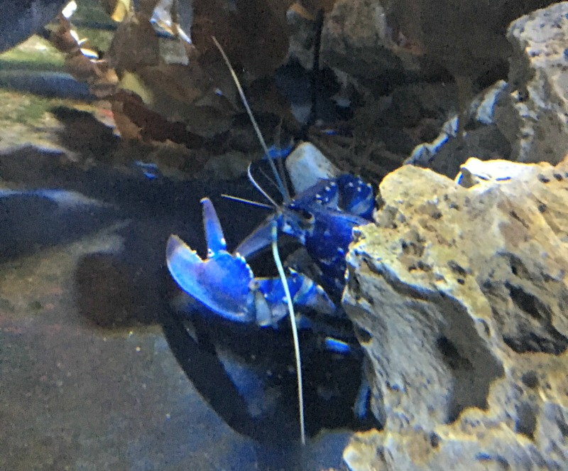The lobsters at the London aquarium have to be seen to be believed
