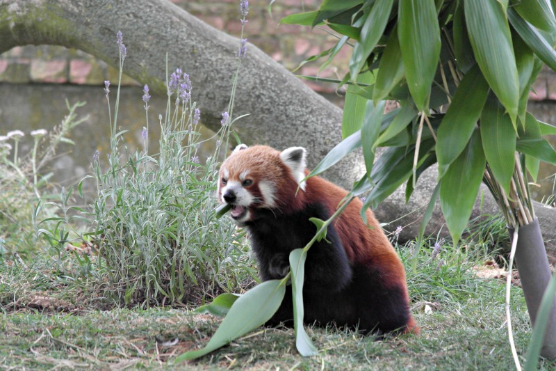 Aren't red pandas the cutest, most adorable things you've ever seen?