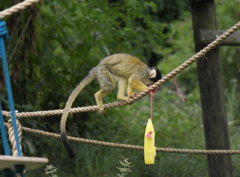 The squirrel monkeys at Whipsnade zoo are too cheeky to ignore