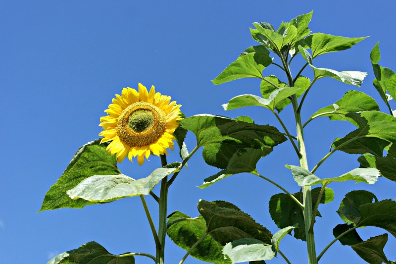 Sunflowers at Poppy Lodge, one of two lovely country cottages in Somerset