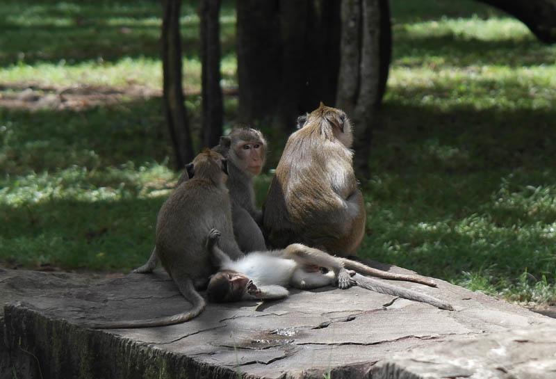 Cambodia family holiday highlights - seeing the monkeys at Angkor Wat temple